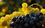 Употребления винограда при грудном вскармливании