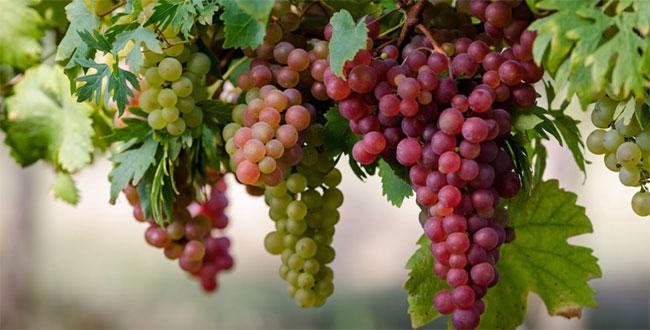 Можно ли виноград при грудном вскармливании кормящей маме