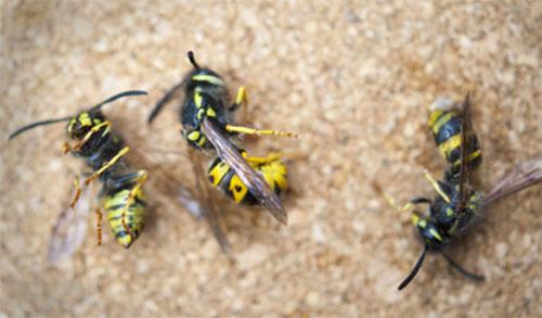 Три мертвых осы