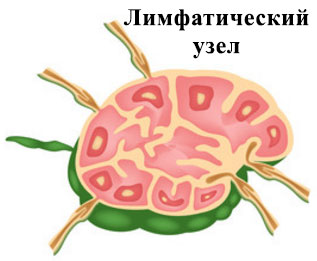 Поперечный разрез лимфатического узла