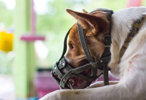 Грустная собака в наморднике