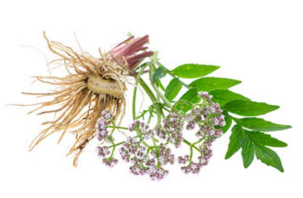 Валериана: корневище, листья и соцветия