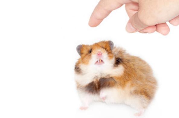 Хомяк смотрит на приближающийся палец
